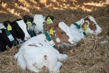 Calves Vortex Holsteins Evolution Farm Vets